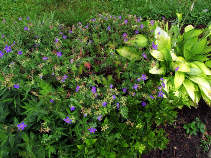'Johnson's Blue' geranium and 'Gold Standard' hosta