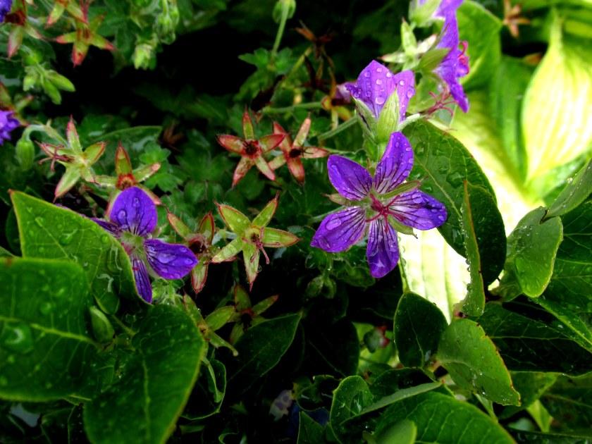 closer look at 'Johnson's Blue' geranium and 'Gold Standard' hosta