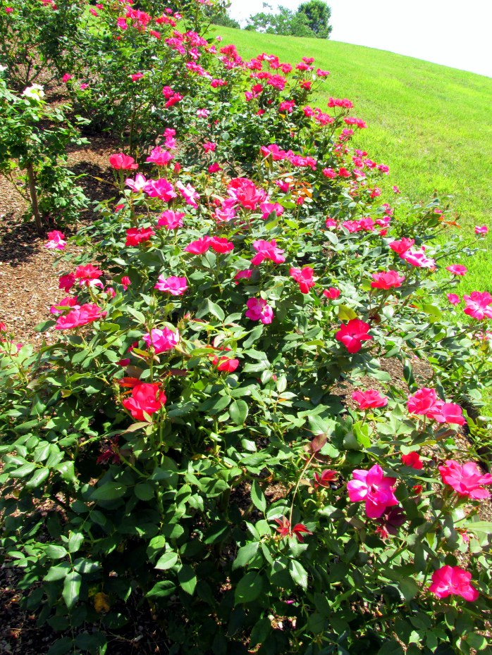 'Knockout' pink roses