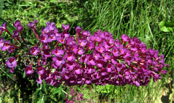 magenta buddleia (butterfly bush), 23 Aug