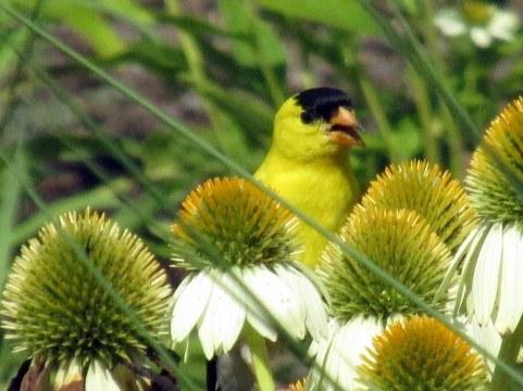 male goldfinch in echinacea
