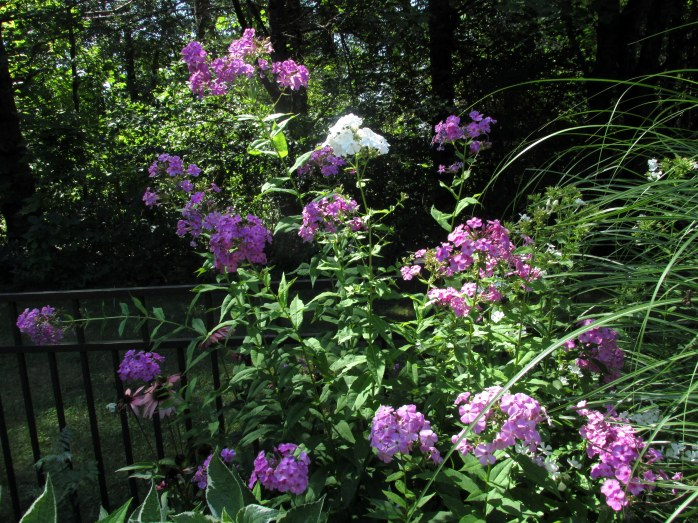 phlox from a friend, 24 Aug