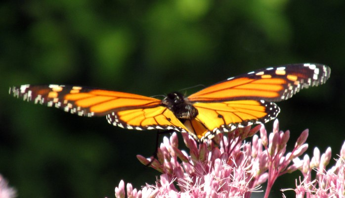 monarch on Joe Pye weed, 25 Aug