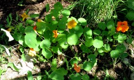nasturtium patch, 12 Aug