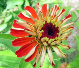 orange-burgundy zinnia, 31 Aug