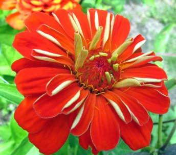orange-creme zinnia, 31 Aug