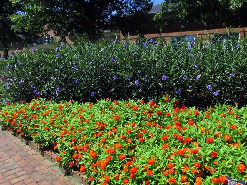 orange zinnias and purple flowers