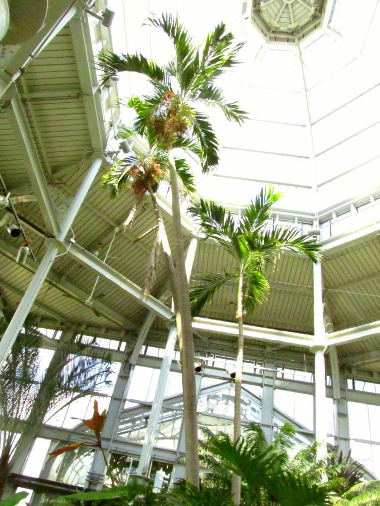 palm tree inside conservatory