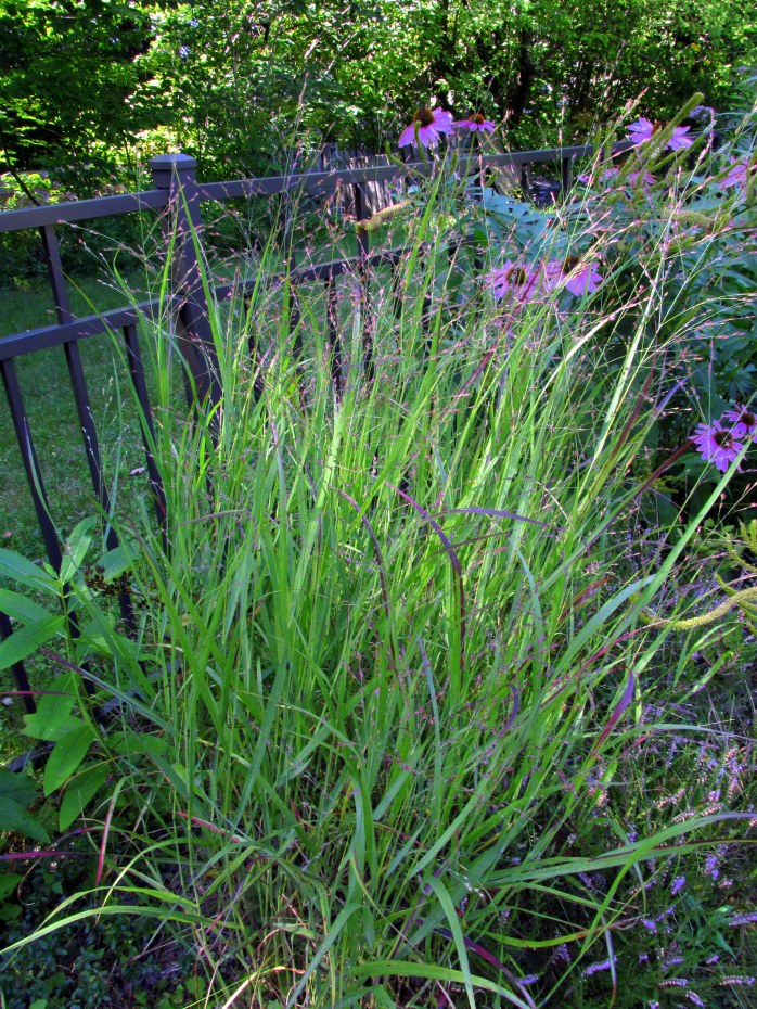 panicum virgatum 'Shenandoah' grass blooming, 24 Aug