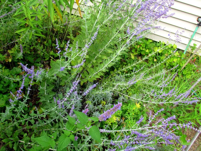 perovskia (Russian sage), lavender, anise hyssop, ferns, weeds, 31 Aug