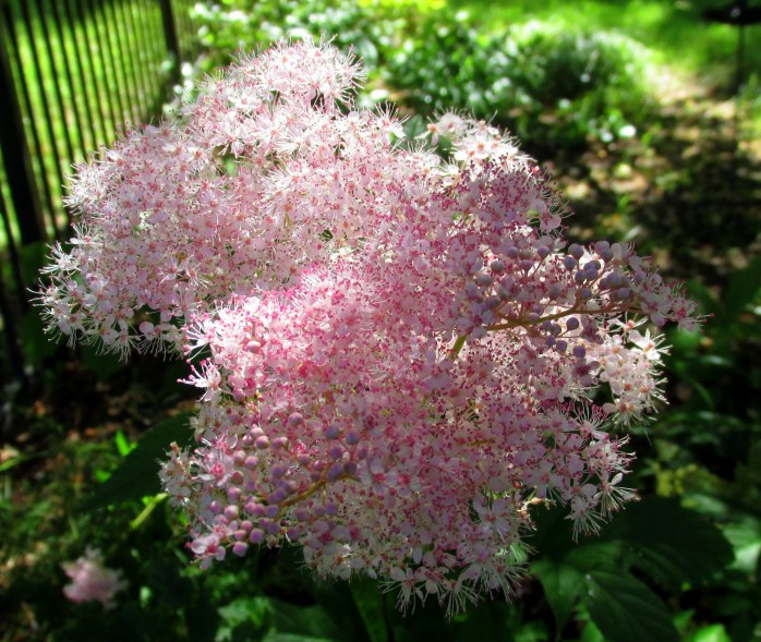 pink filipendula bloom