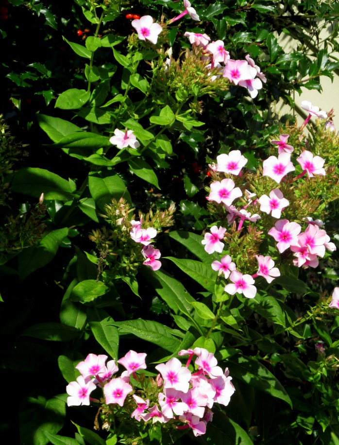 Neon Intensia phlox still blooming, 31 Aug
