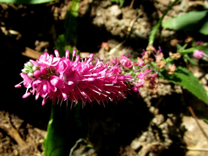 pink Red Fox veronica, 9 Aug