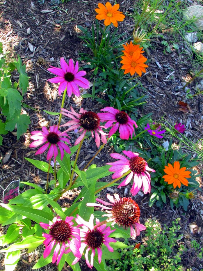 Purple Emperor echinacea and orange gazania, 9 Aug