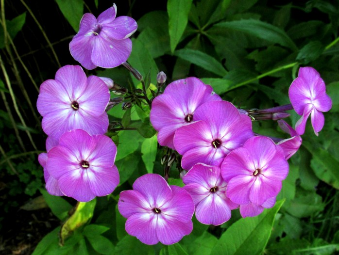 purple phlox in front yard. 24 Aug