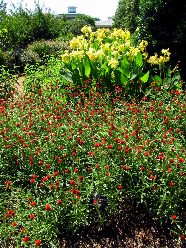 Button flower (Gomphrena) and canna lilies
