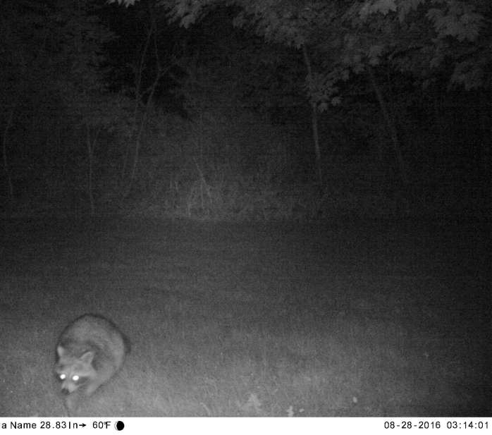 raccoon caught by motion camera, 28 Aug
