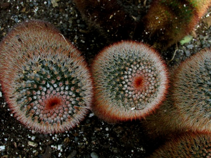 Red-headed Irishmen cacti