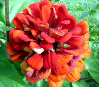 red-orange zinnia, 22 Aug