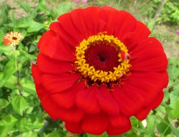 red zinnia, 31 Aug
