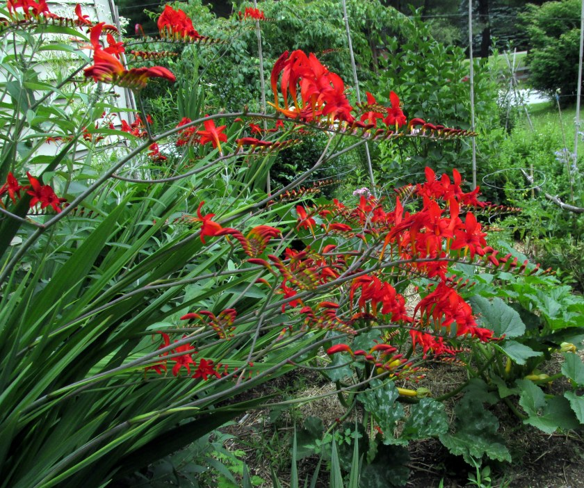 a riot of red crocosmia