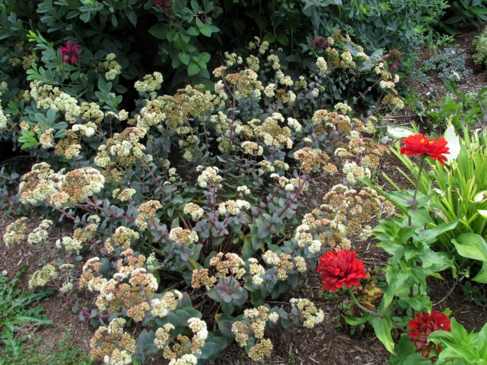 Hab Grey sedum blooming, red zinnias, 29 Aug
