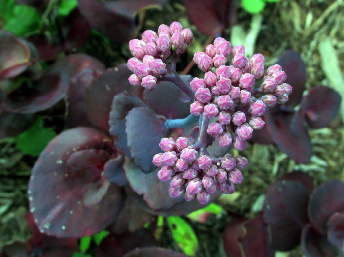 Turkish Delight sedum blooming, 29 Aug