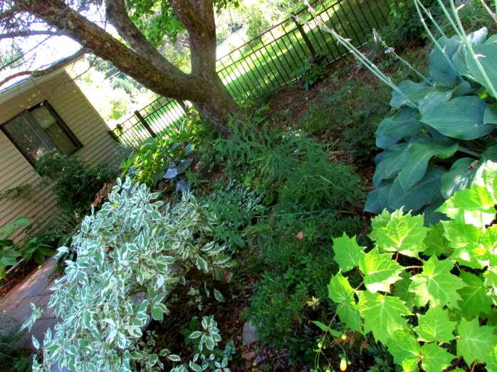shade garden with Ivory Halo dogwood, hosta, kirengeshoma, astilbe, 23 Aug