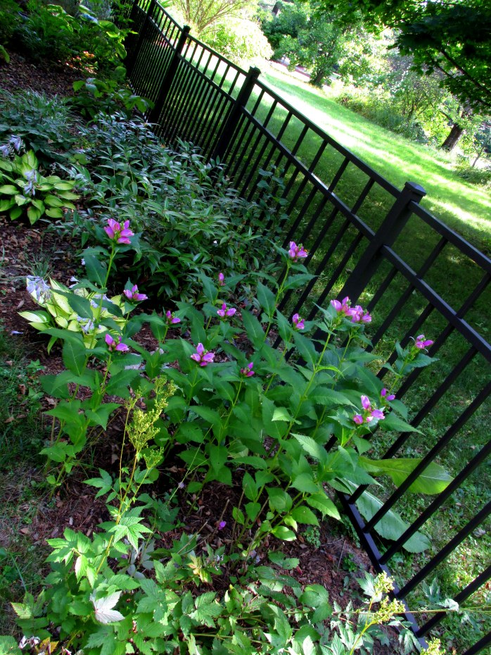 part of shade garden with chelone (turtlehead) blooming, 31 Aug