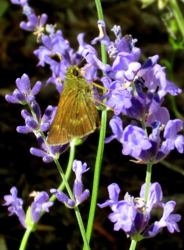 skipper butterfly on lavender