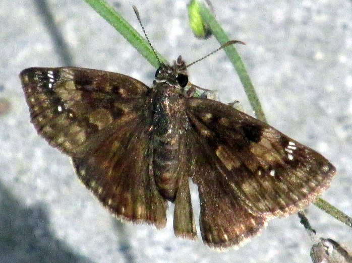duskywing butterfly, 14 Aug