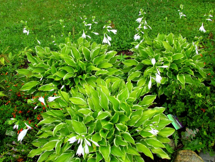 'So Sweet' hostas