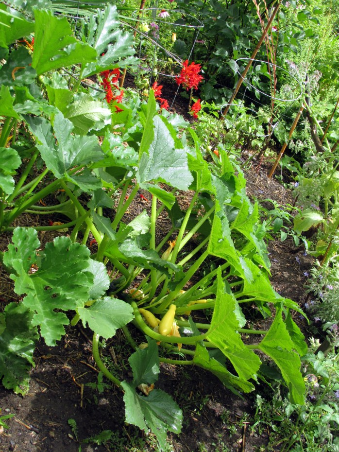 another view inside veggie garden, with squash, tomato, basil plants, and crocosmia