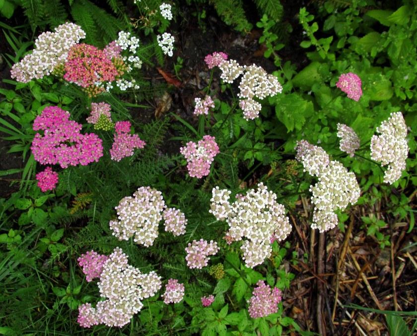 'Summer Pastels' yarrow
