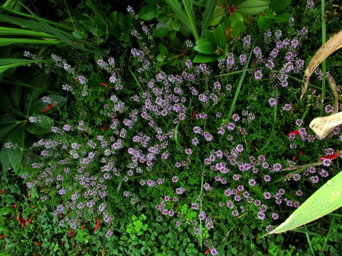 thyme flowers, 24 Aug