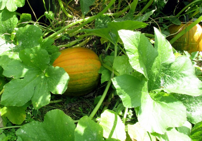 two of the giant gourds, 31 Aug