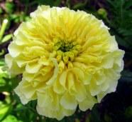 vanilla marigold, 31 Aug