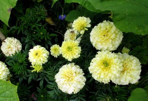 vanilla marigolds in veggie garden, 31 Aug
