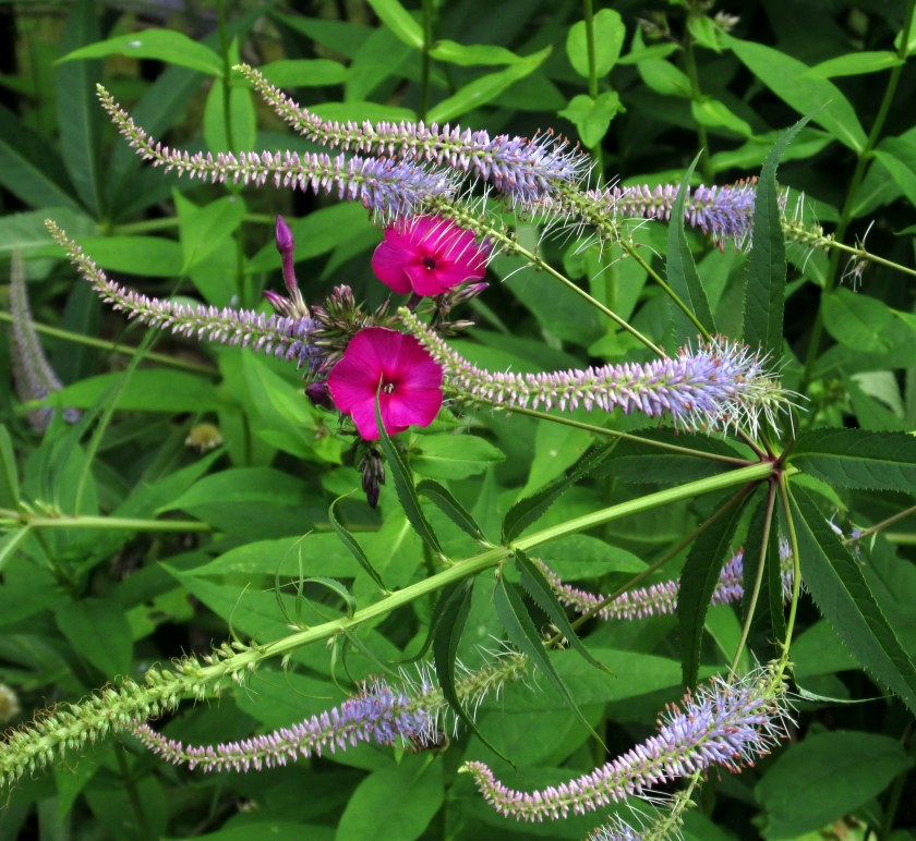 phlox 'Wendy House' and veronicastrum
