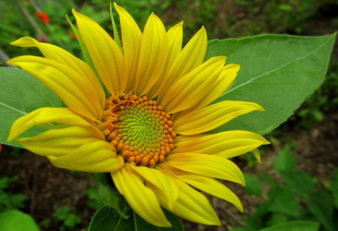 volunteer sunflower, 16 Aug