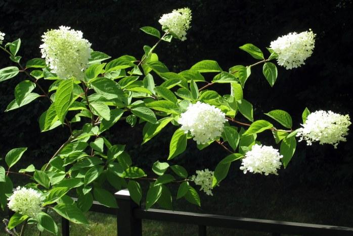 hydrangea, 12 Aug
