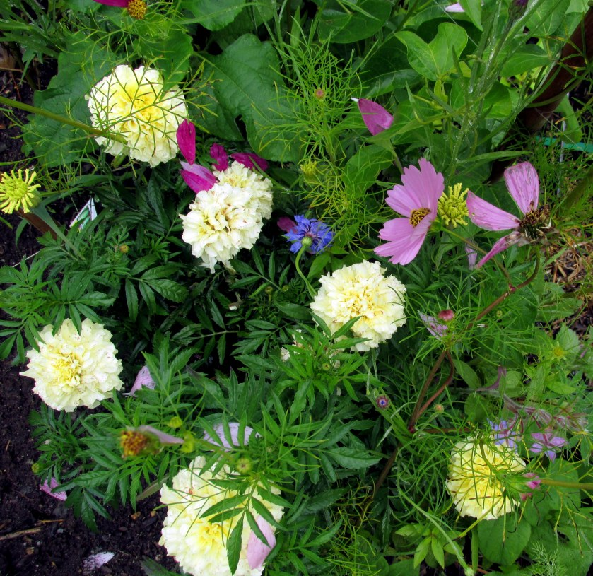 intersection of flowers in veggie garden: cosmos, borage, vanilla marigolds, bachelor button from butterfly mix