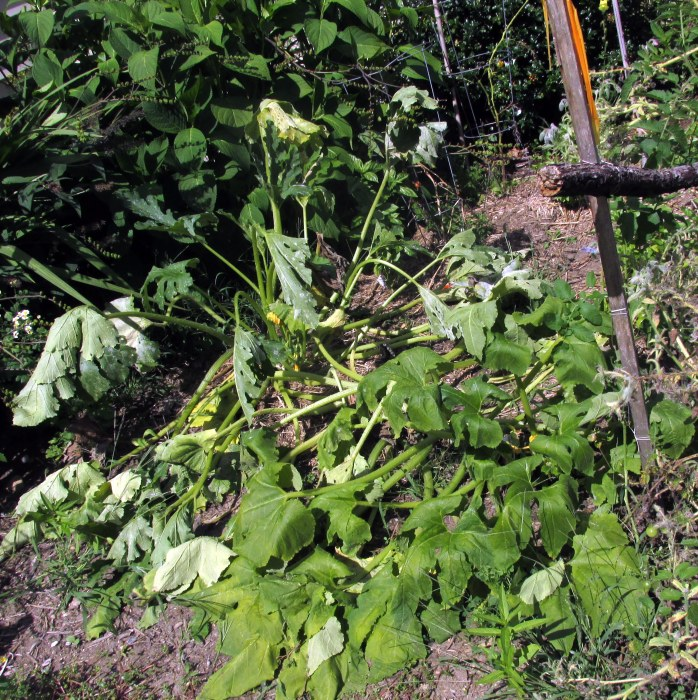 wilted remains of squash plants, 29 Aug