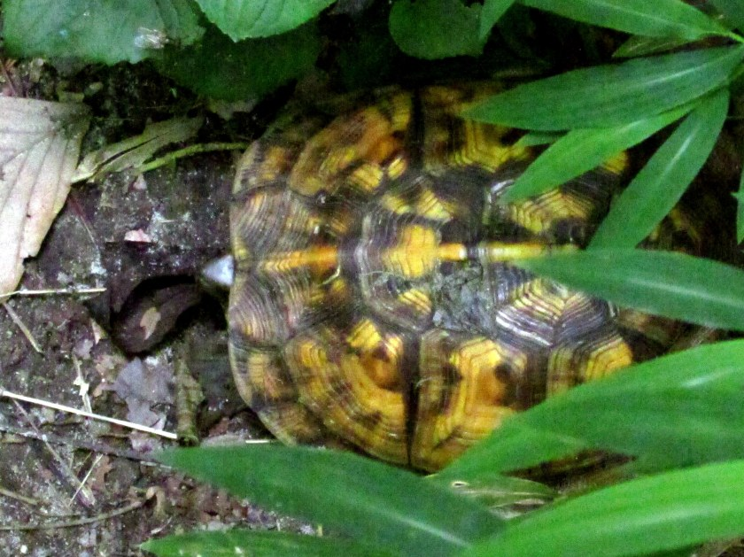 turtle seen on trail