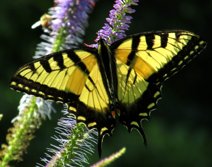 swallowtail on veronicastrum