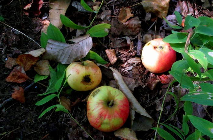 apples under the apple tree