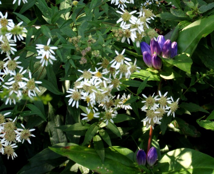 bottle gentian and white aster
