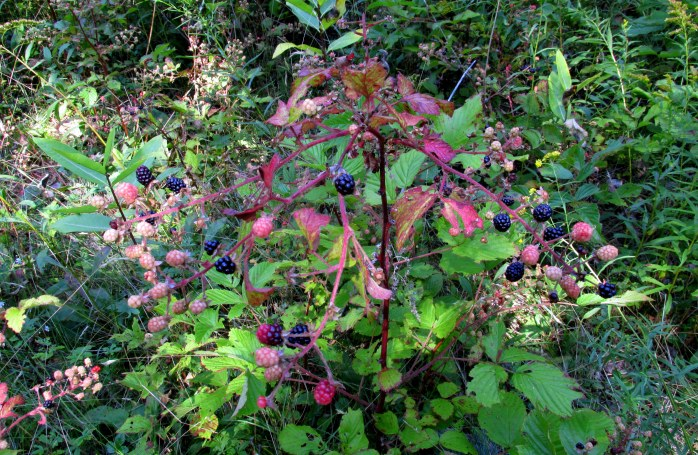 bramble blackberries (tasty)