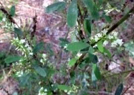 branchflowersleavesspindlywhitefloweredmelilotusalbuswhitesweetcloverbnrtgrafton5sept2016