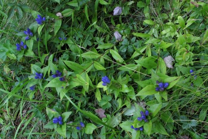 manybottlegentianplantskhnp3sept2016